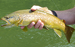Kooteani Brown Trout
